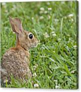 Bunny Rabbit In The Clover Canvas Print