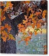 Bur Oak Tree In Autumn Canvas Print
