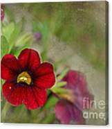 Burgundy Calibrochoa Blank Greeting Card II Canvas Print
