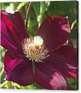 Burgundy Clematis Profile   # Canvas Print