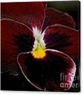 Burgundy Pansy  Canvas Print