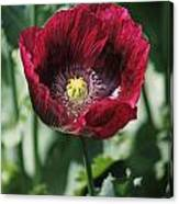 Burgundy Poppy Canvas Print