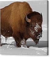 Burly Bison Canvas Print