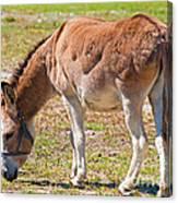 Burro Equus Asinus Canvas Print