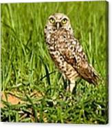 Burrowing Owl At It's Burrow Canvas Print