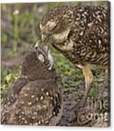 Burrowing Owl Feeding It's Chick Photo Canvas Print