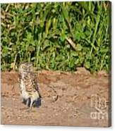 Burrowing Owl IIi Canvas Print