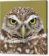 Burrowing Owl, Kaninchenkauz Canvas Print