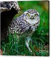 Burrowing Owl  Canvas Print