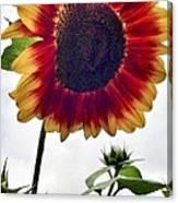 Burst Of Sunflower Canvas Print