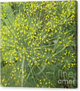 Bursting Dill Plant Canvas Print