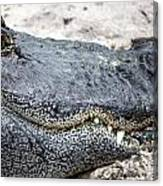 Busch Gator Canvas Print
