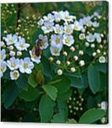 Bush Blossums With Bee Canvas Print