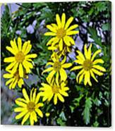 Bush Daisy  Canvas Print