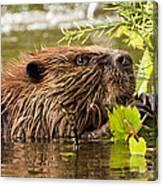 Busy As A Beaver Canvas Print