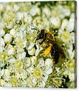 Busy Bee On A Rowan Flowers - Featured 3 Canvas Print