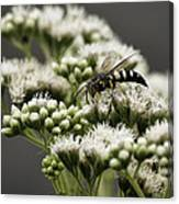 Busy Bee On White Canvas Print