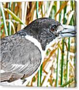 Butcherbird Canvas Print