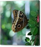 Buterfly 4 Canvas Print