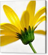 Buttercup Canvas Print