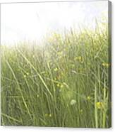 Buttercups Flowers And Sun Flare Canvas Print