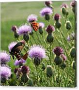 Butterflies And Bull Thistle Wildflowers Canvas Print