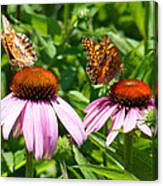 Butterflies On Echinacea Flowers Canvas Print