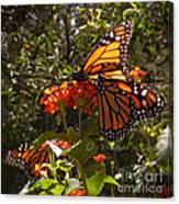 Butterflies Three Canvas Print