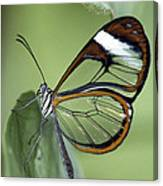 Butterfly 005 Canvas Print