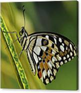 Butterfly 010 Canvas Print
