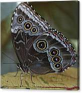 Butterfly 015 Canvas Print