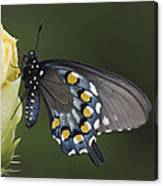 Butterfly 016 Canvas Print