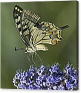 Butterfly 020 Canvas Print