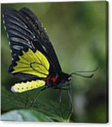 Butterfly 029 Canvas Print