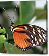 Key West Butterfly 2 Canvas Print