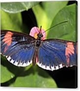 Key West Butterfly 3 Canvas Print