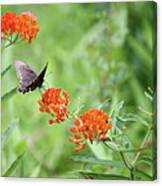 Butterfly A L'orange Canvas Print