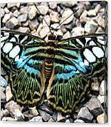 Butterfly Amongst Stones Canvas Print