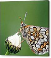 Butterfly And White Flower Canvas Print