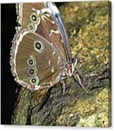 Butterfly At Night Canvas Print