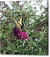Butterfly Bush Canvas Print