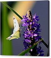 Butterfly - Cabbage White Canvas Print