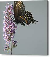 Butterfly Feeding Canvas Print