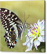 Butterfly Food At Dahlia Flower Canvas Print