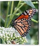 Butterfly Garden - Monarchs 07 Canvas Print