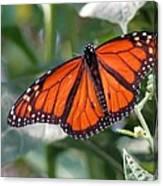 Butterfly Garden - Monarchs 10 Canvas Print