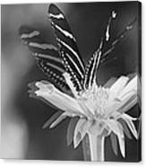 Butterfly In Motion #1952bw Canvas Print
