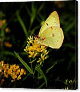 Butterfly Kiss Canvas Print