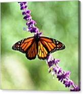 Butterfly - Monarch Canvas Print