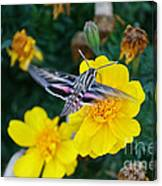 Butterfly Moth Canvas Print